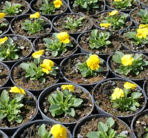 Violka růžkatá 'Deltini Yellow Improved' - Viola cornuta 'Deltini Yellow Improved'