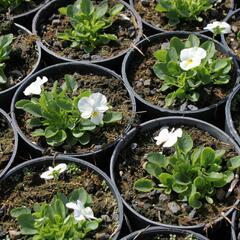 Violka růžkatá 'Deltini True White' - Viola cornuta 'Deltini True White'