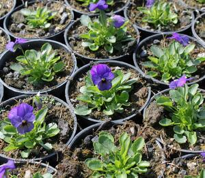 Violka růžkatá 'Deltini Blue' - Viola cornuta 'Deltini Blue'