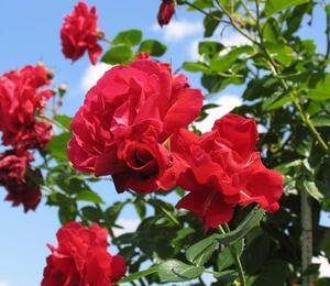 Růže pnoucí Kordes 'Sympathie' - Rosa PN 'Sympathie'