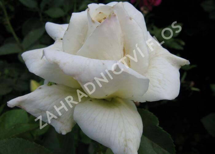 Růže velkokvětá 'Pascali' - Rosa VK 'Pascali'