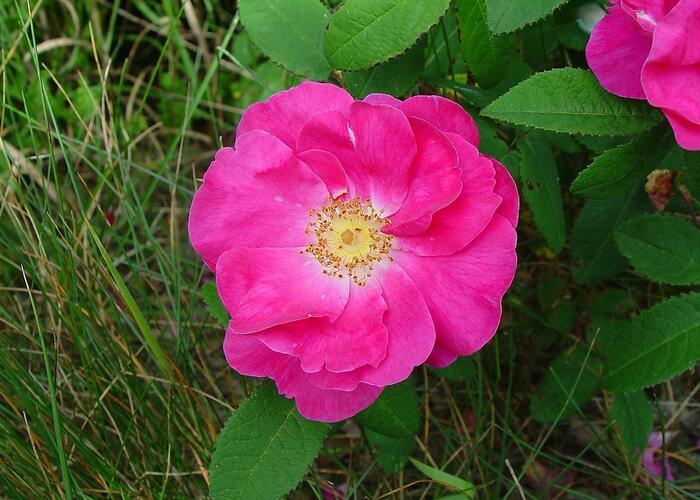 Růže keltská - Rosa gallica