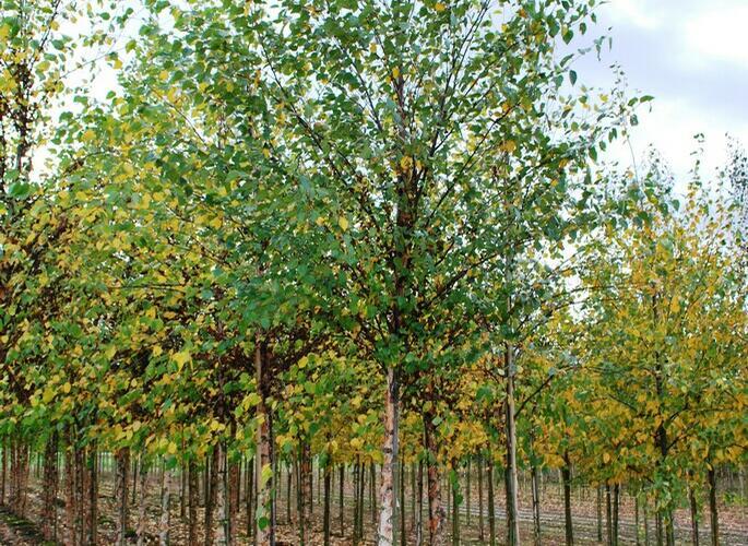 Bříza černá - Betula nigra