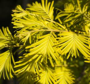 Metasekvoje tisovcovitá 'Goldrush' - Metasequoia glyptostroboides 'Goldrush'