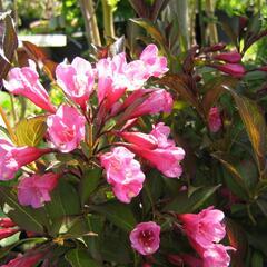 Vajgélie květnatá 'Purpurea' - Weigela florida 'Purpurea'