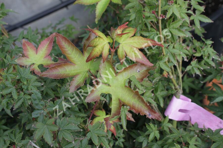 Javor dlanitolistý 'Beni Hime' - Acer palmatum 'Beni Hime'
