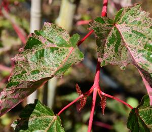 Javor 'Red Flamingo' - Acer conspicuum 'Red Flamingo'