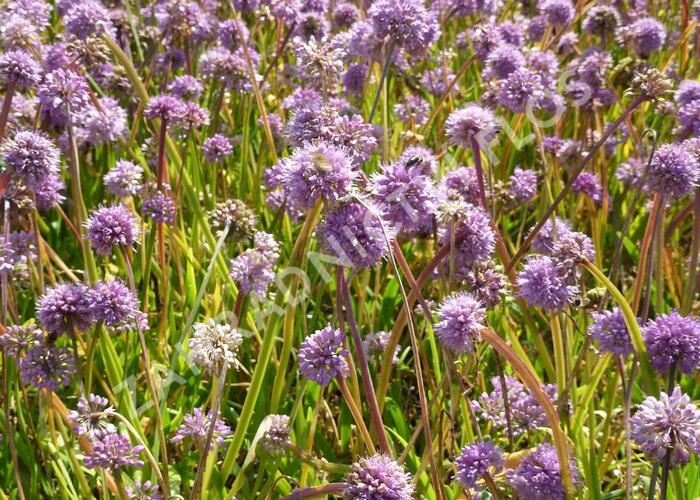 Česnek horský - Allium senescens
