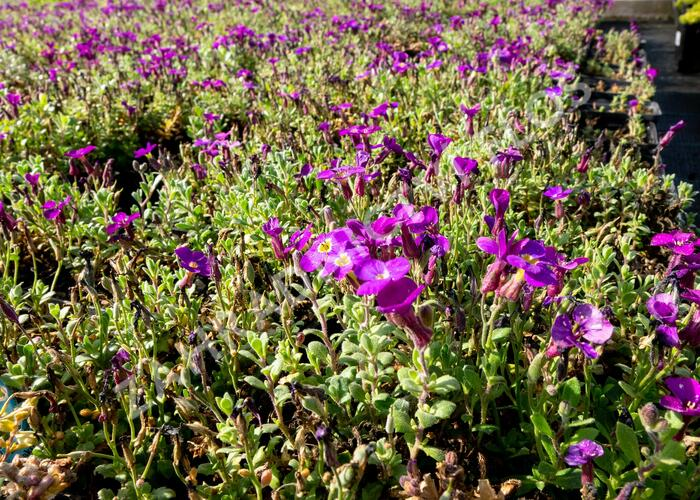 Tařička kosníkovitá 'Audrey Purple Shades' - Aubrieta deltoides 'Audrey Purple Shades'
