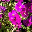 Tařička kosníkovitá 'Audrey Deep Purple Compact' - Aubrieta deltoides 'Audrey Deep Purple Compact'