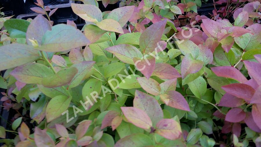 Borůvka chocholičnatá, kanadská borůvka - Vaccinium corymbosum