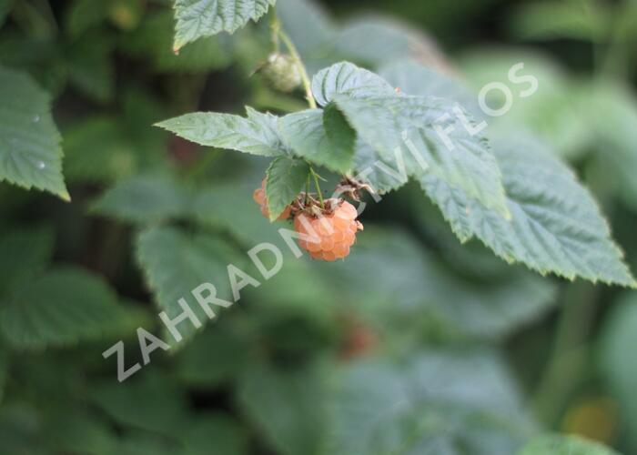 Maliník remontantní 'Fall Gold' - Rubus idaeus 'Fall Gold'