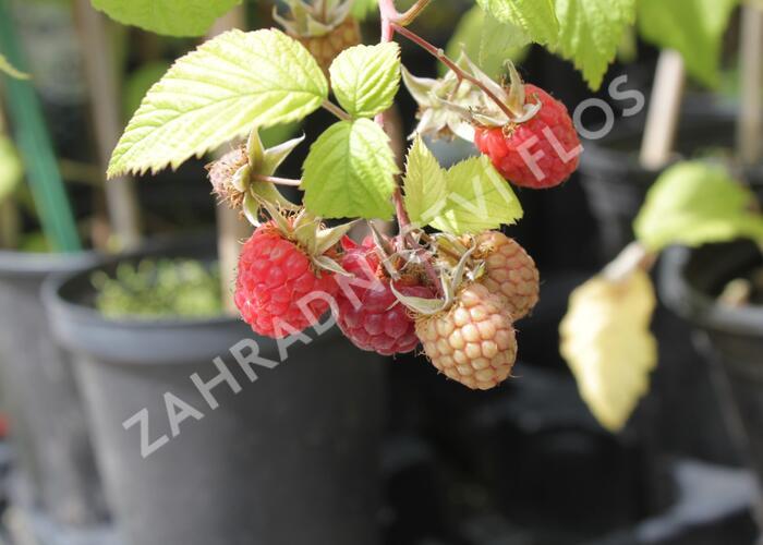 Maliník jednouplodící 'Canby' - Rubus idaeus 'Canby'