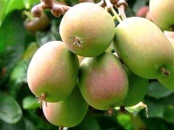 Aktinidie význačná, kiwi - samičí 'Ananasnaja' - Actinidia arguta 'Ananasnaja'
