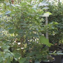 Lípa - Tilia henryana