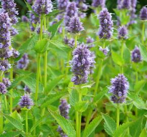 Agastache 'Blue Fortune' - Agastache hybrida 'Blue Fortune'