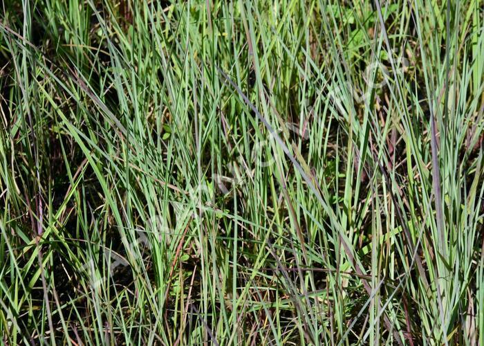 Vousatice metlatá - Andropogon scoparius
