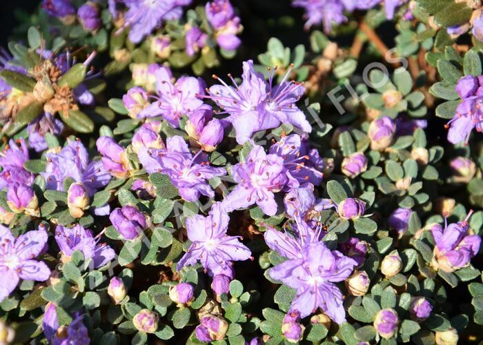 Pěnišník obtížený - Rhododendron impeditum
