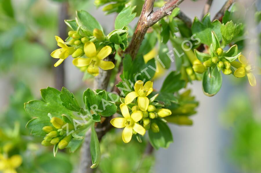 Meruzalka vonná - Ribes odoratum