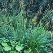 Ostřice převislá - Carex pendula