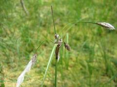 Suchopýr úzkolistý - Eriophorum angustifolium