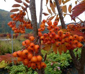 Jeřáb obecný 'Autumn Spire' - Sorbus aucuparia 'Autumn Spire'