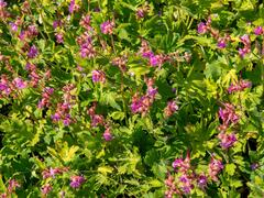 Kakost oddenkatý - Geranium macrorrhizum