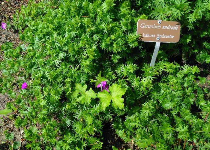 Kakost Endressův - Geranium endressii