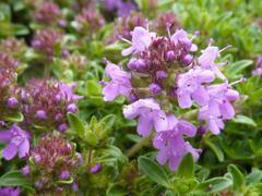 Mateřídouška 'Minor' - Thymus praecox 'Minor'