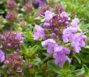 Mateřídouška 'Minor' - Thymus praecox 'Minor'