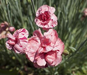 Hvozdík 'Helen' - Dianthus allwoodii 'Helen'