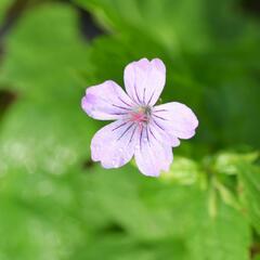 Kakost uzlinkatý - Geranium nodosum