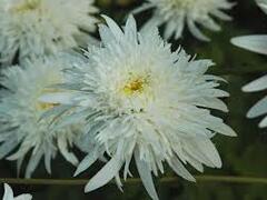 Kopretina velkokvětá 'Eisstern' - Leucanthemum x superbum 'Eisstern'