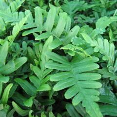 Osladič obecný - Polypodium vulgare