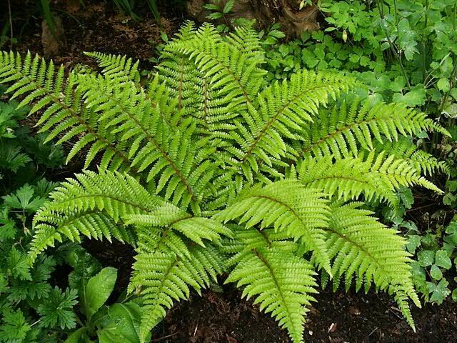 Kapradina japonská - Polystichum polyblepharum