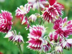 Orlíček obecný 'Nora Barlow' - Aquilegia vulgaris 'Nora Barlow'