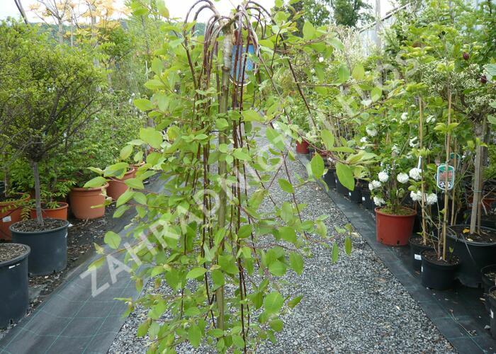 Vrba jíva 'Kilmarnock' - Salix caprea 'Kilmarnock'
