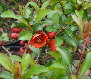 Kdoulovec japonský - Chaenomeles japonica 'Sargentii'