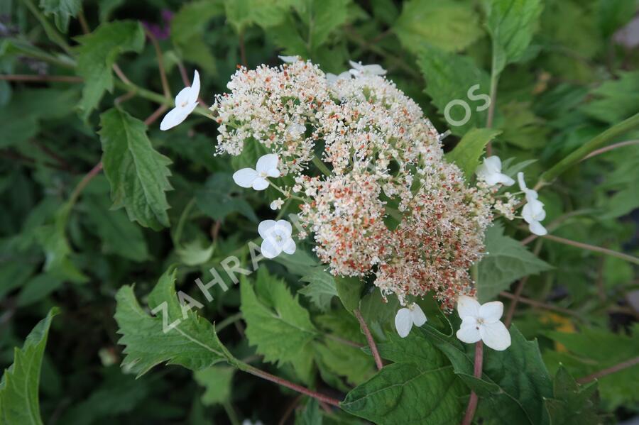 Hortenzie stromečkovitá 'Riven Lace' - Hydrangea arborescens 'Riven Lace'