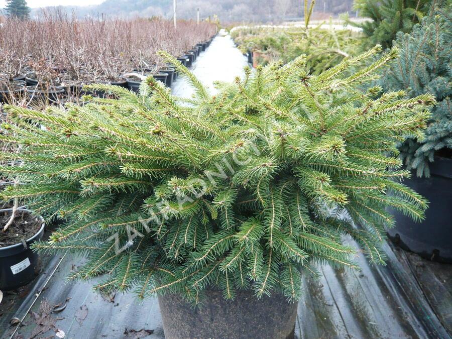 Smrk ztepilý 'Little Gem' - Picea abies 'Little Gem'
