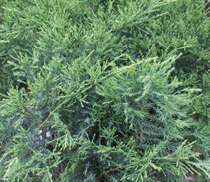 Jalovec chvojka - Juniperus sabina