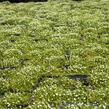 Úrazník 'Moss Green' - Sagina subulata 'Moss Green'
