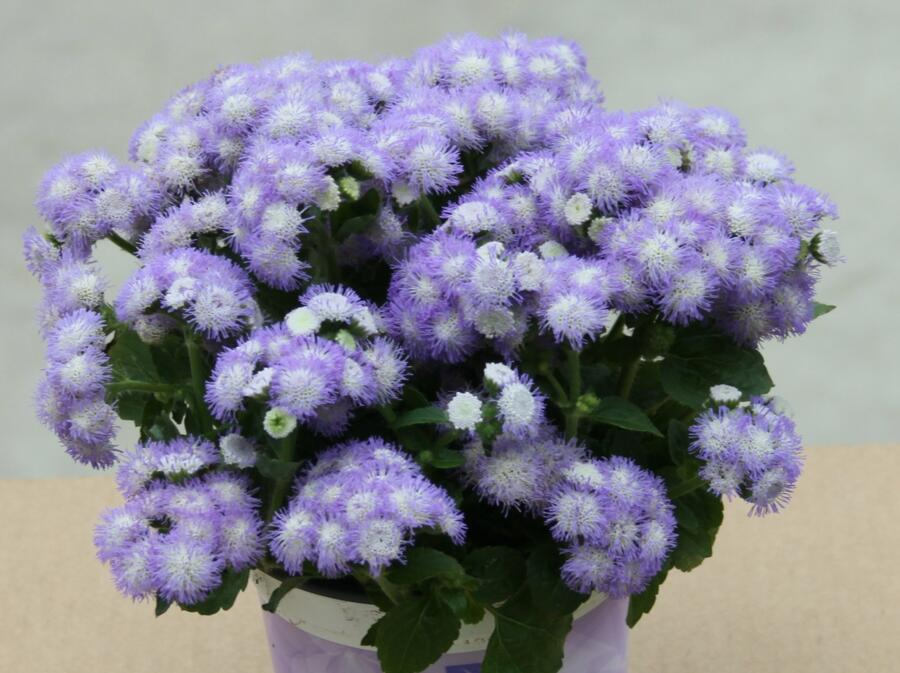 Nestařec americký 'Ariella Power Bicolor' - Ageratum houstonianum 'Ariella Power Bicolor'