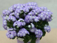 Nestařec americký 'Ariella Power Bicolor' - Ageratum houstonianum 'Ariella Power Bicolor'