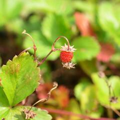 Jahodník měsíční (Wildform) - Fragaria vesca (Wildform)