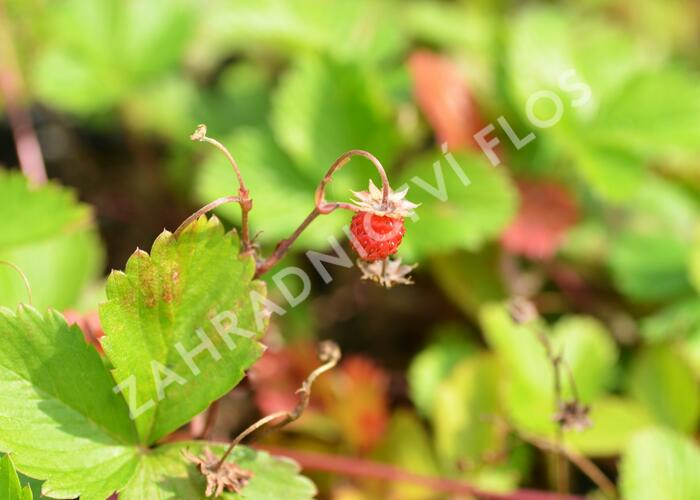 Jahodník měsíční - Fragaria vesca (Wildform)