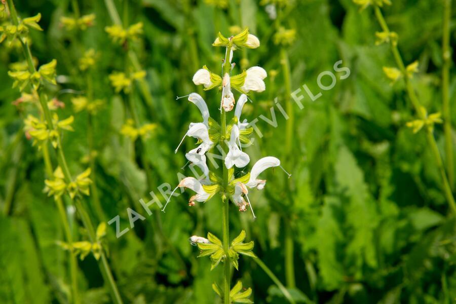 Šalvěj luční 'Swan Lake' - Salvia pratensis 'Swan Lake'