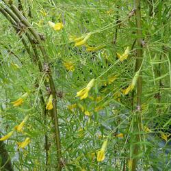 Čimišník stromový 'Walker' - Caragana arborescens 'Walker'