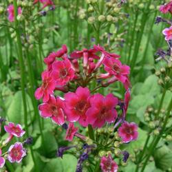 Prvosenka jarní 'Millers Crimson' - Primula japonica 'Millers Crimson'