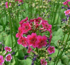 Prvosenka japonská 'Millers Crimson' - Primula japonica 'Millers Crimson'